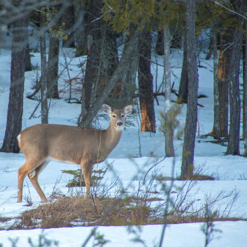 White tailed deer on meadow in winter with snow, looking at came stock image