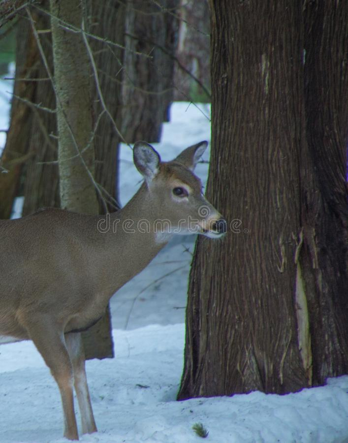 White tailed deer by cedar trees in winter with snow stock images