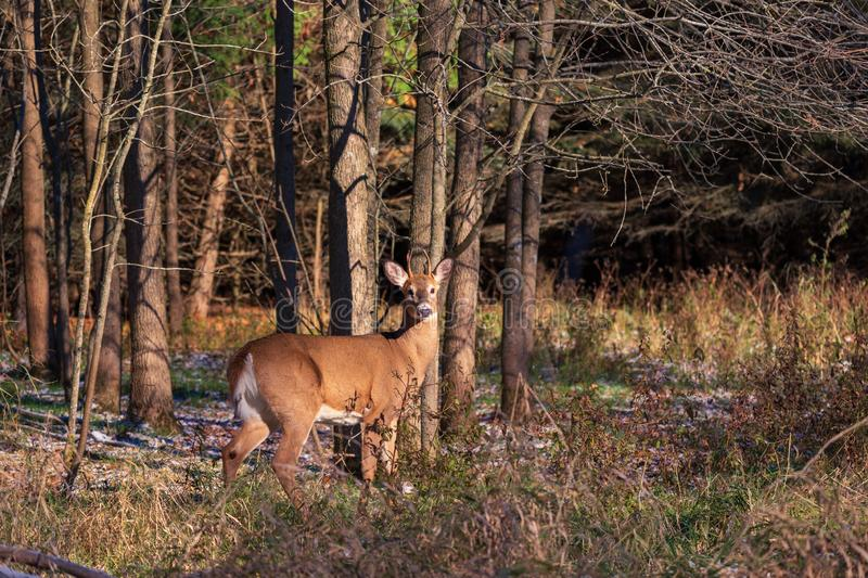 White Tailed Deer closeup in the woods stock image
