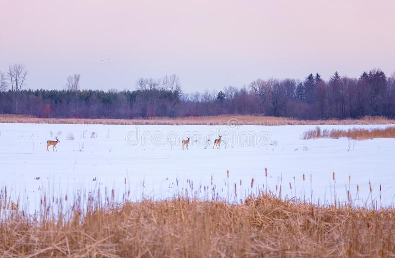White Tailed Deer crossing a frozen marsh in winter stock photos