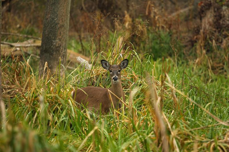 Download White-tailed Deer Doe stock image. Image of brown, hind - 17024161