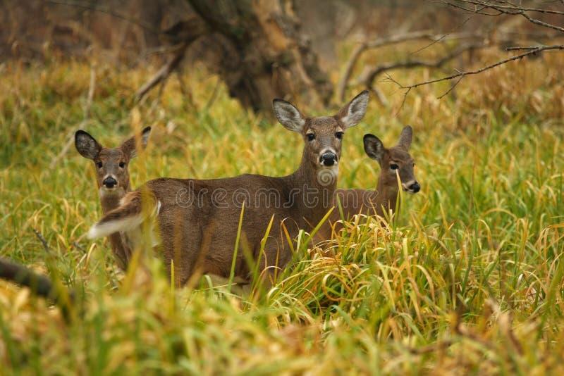 White-tailed Deer Doe stock image