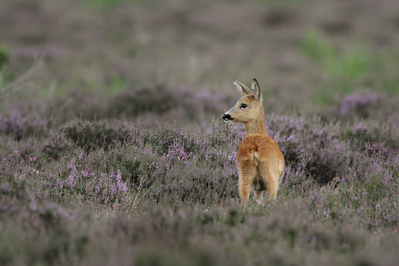 White-tailed Deer Doe royalty free stock image