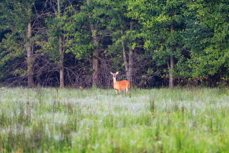 White-tailed deer, doe, on the edge of a wooded part of Bald Knob stock image
