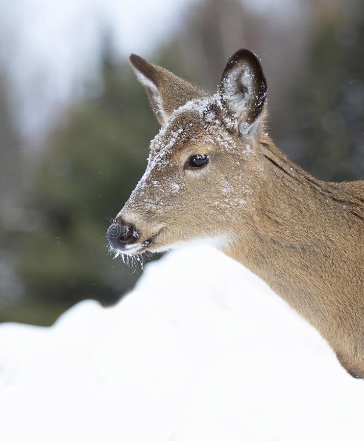A White-tailed deer doe with snow on her head closeup in winter in Canada royalty free stock photo