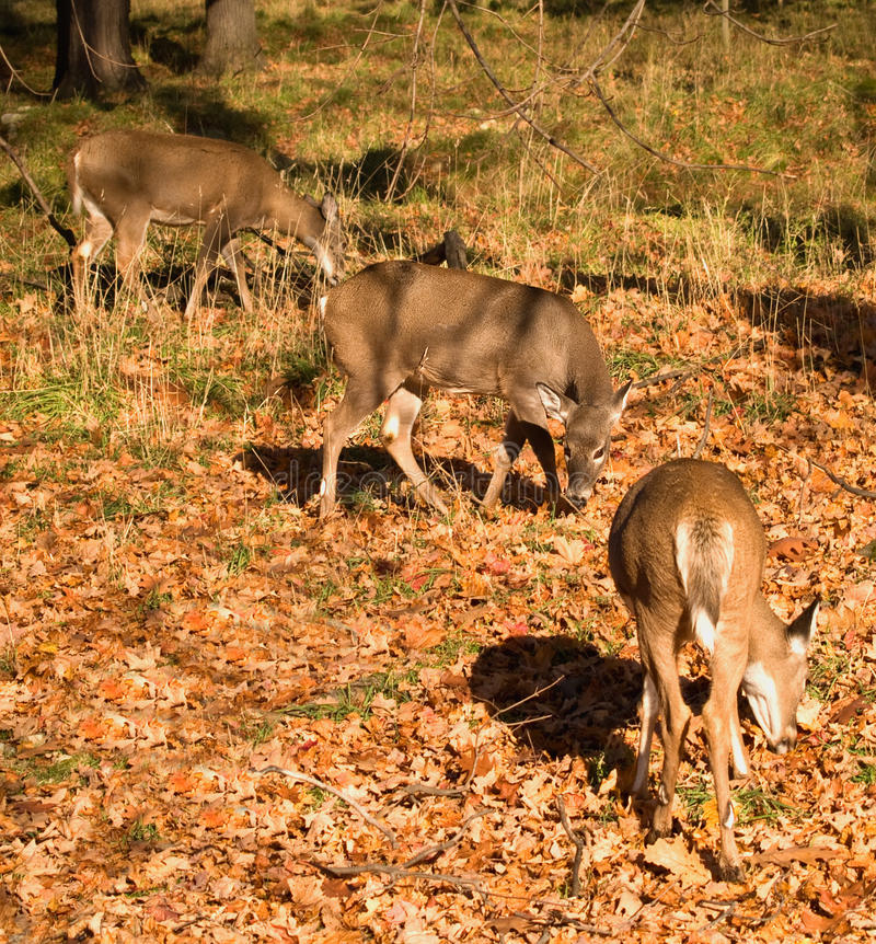 Free White-tailed Deer Eating Stock Photos - 16871423