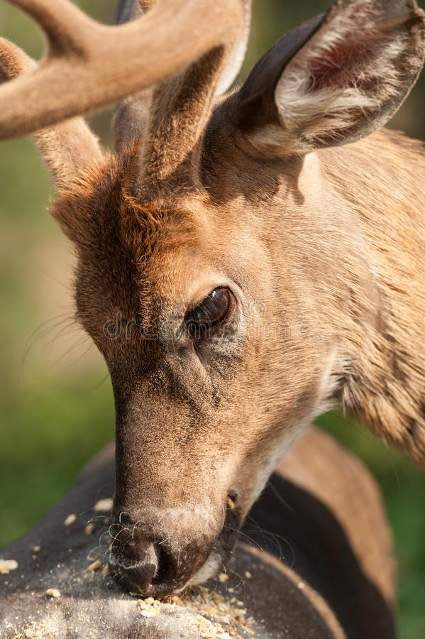 White-tailed deer eating royalty free stock photo