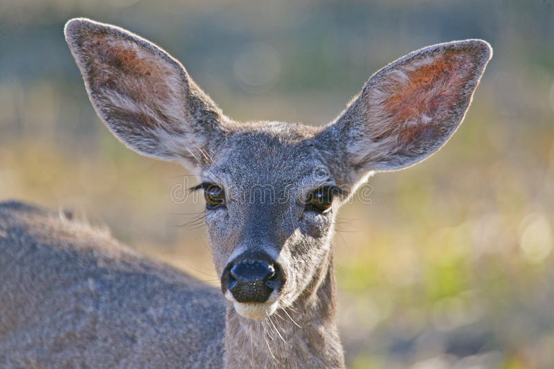 White-tailed Deer fawn. White-tailed Deer (Odocoileus virginianus) fawn is unafraid to inspect the camera stock photos
