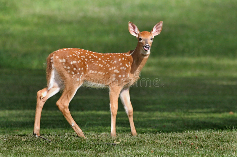 Download White-tailed Deer Fawn stock photo. Image of fawn, wildlife - 3362404