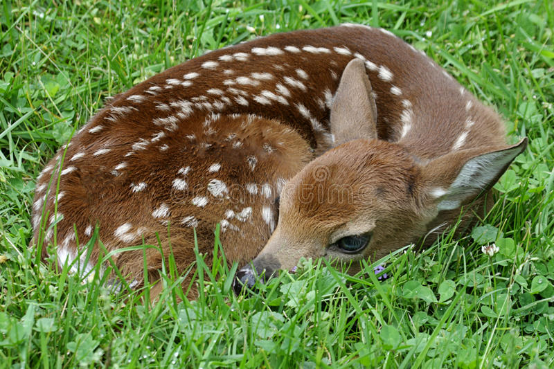 White-tailed Deer Fawn Royalty Free Stock Photos
