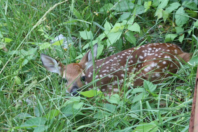White-tailed Deer Fawn in Brush royalty free stock image