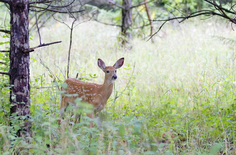 A White-tailed deer fawn in the forest in Ottawa, Canada. White-tailed deer fawn in the forest in Ottawa, Canada stock image