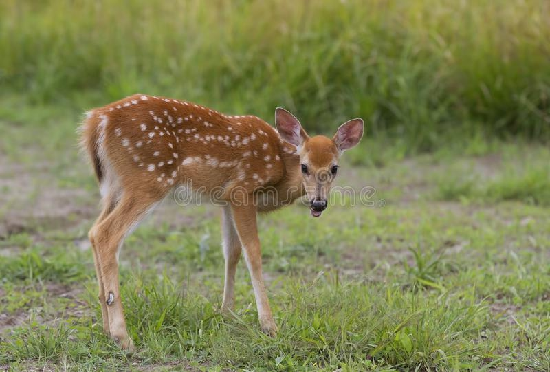 White-tailed deer fawn (Odocoileus virginianus) grazing in grassy field in Canada royalty free stock photo