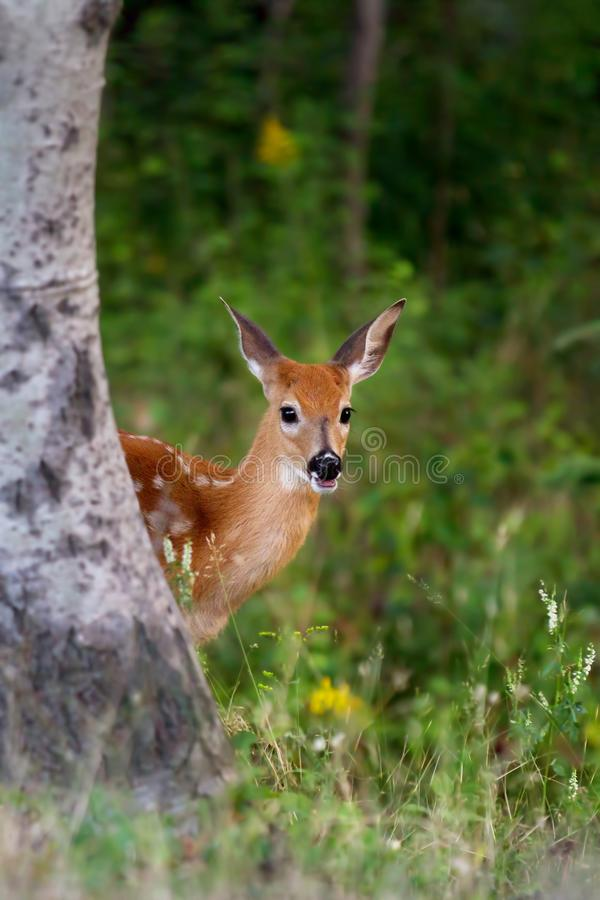 White-tailed deer fawn (Odocoileus virginianus) peeking out from behind a tree in the forest royalty free stock image