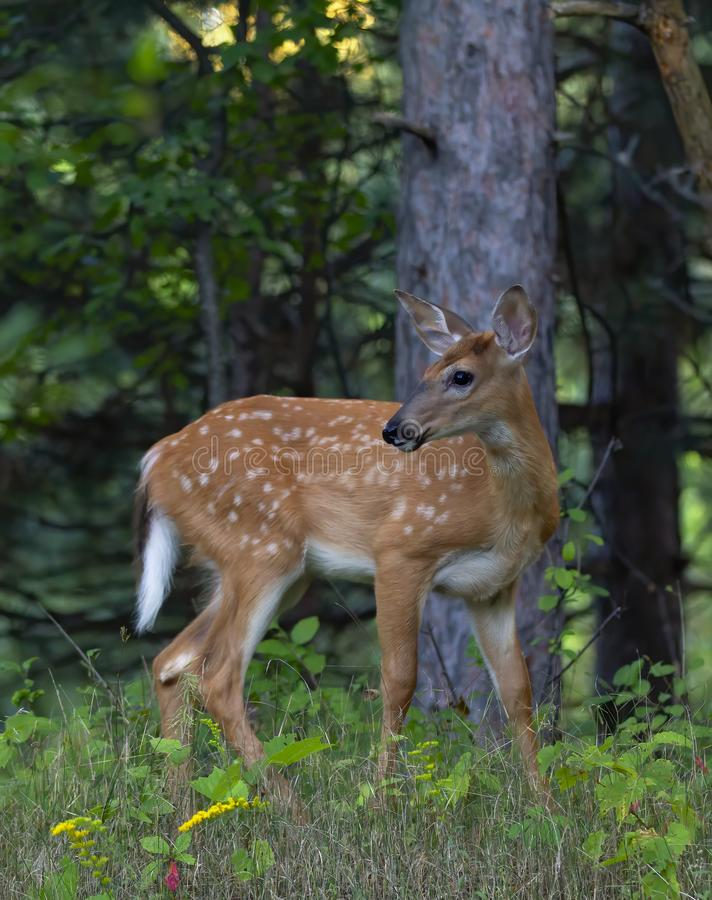A White-tailed deer fawn walking in the forest in Ottawa, Canada. White-tailed deer fawn walking in the forest in Ottawa, Canada stock photography