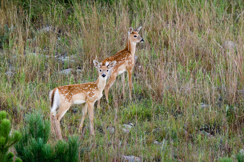 White Tailed Deer Fawns royalty free stock photography