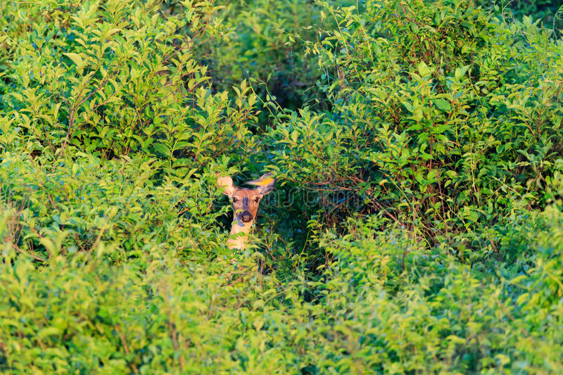 White-tailed deer hidden within thick trees at Bald Knob Wildlife Refuge in Bald Knob stock photos