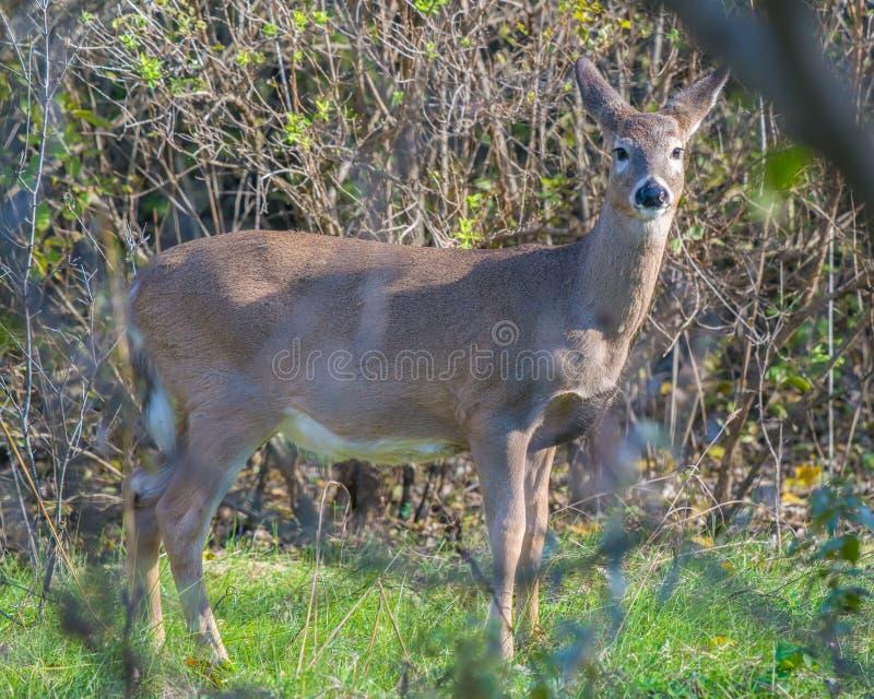 White-tailed deer in the Minnesota Valley National Wildlife Refuge near the Minnesota River.  stock photo