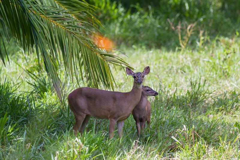 White-tailed deer - Odocoileus virginianus. Doe protecting her fawn in a green pasture in Costa Rica. the white tailed deer is the symbol for wildlife of the royalty free stock photos