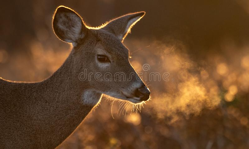 White Tailed Deer royalty free stock photos