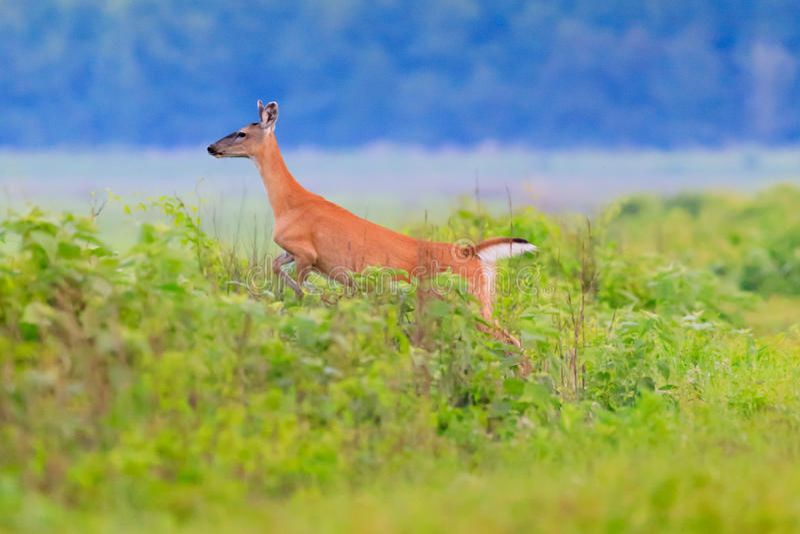 White-tailed deer runs into thick brush at the Bald Knob Wildlife Refuge in Bald Knob. Arkansas stock photos