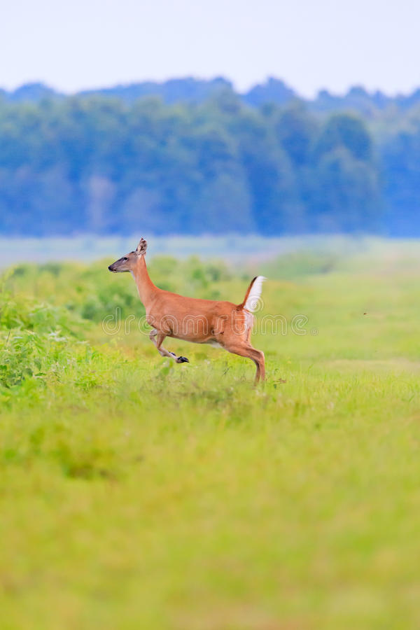 White-tailed deer runs into thick brush at the Bald Knob Wildlife Refuge in Bald Knob royalty free stock photo