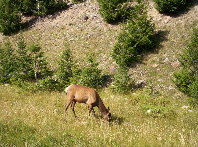 White Tailed Deer at side of road royalty free stock photos