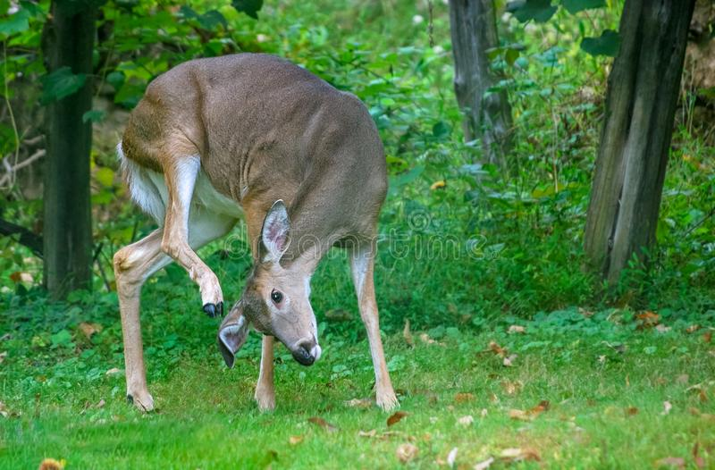 White tailed deer using hoof to scratch ear stock photography