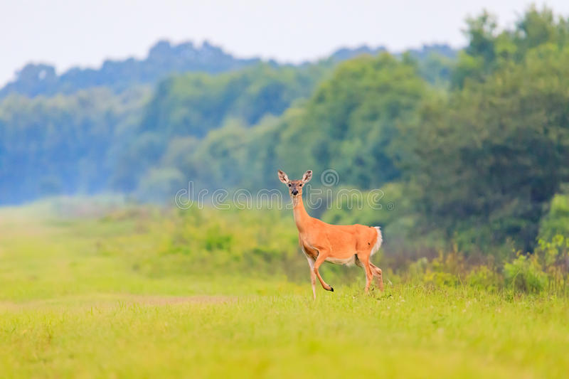 White-tailed deer walks out from thick brush at the Bald Knob Wildlife Refuge in Bald Knob stock images