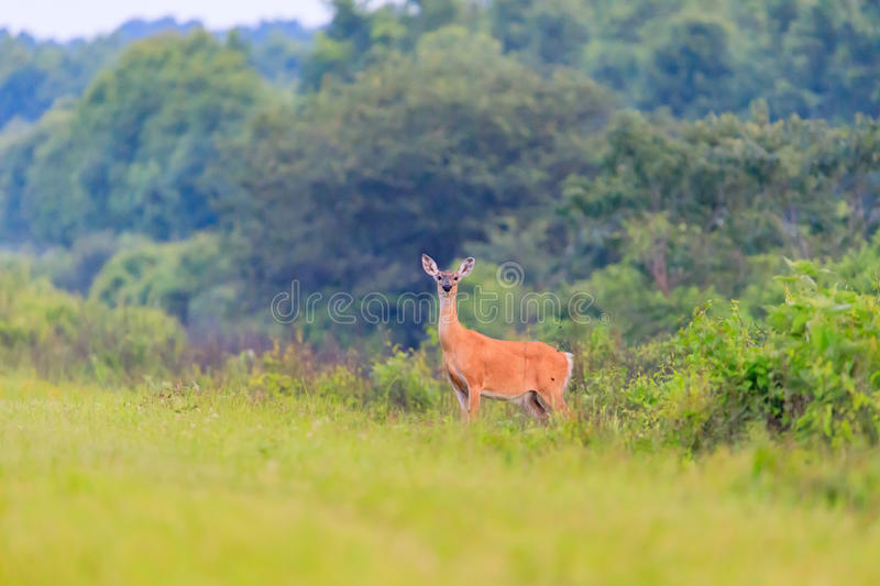 White-tailed deer walks out from thick brush at the Bald Knob Wildlife Refuge in Bald Knob stock photo