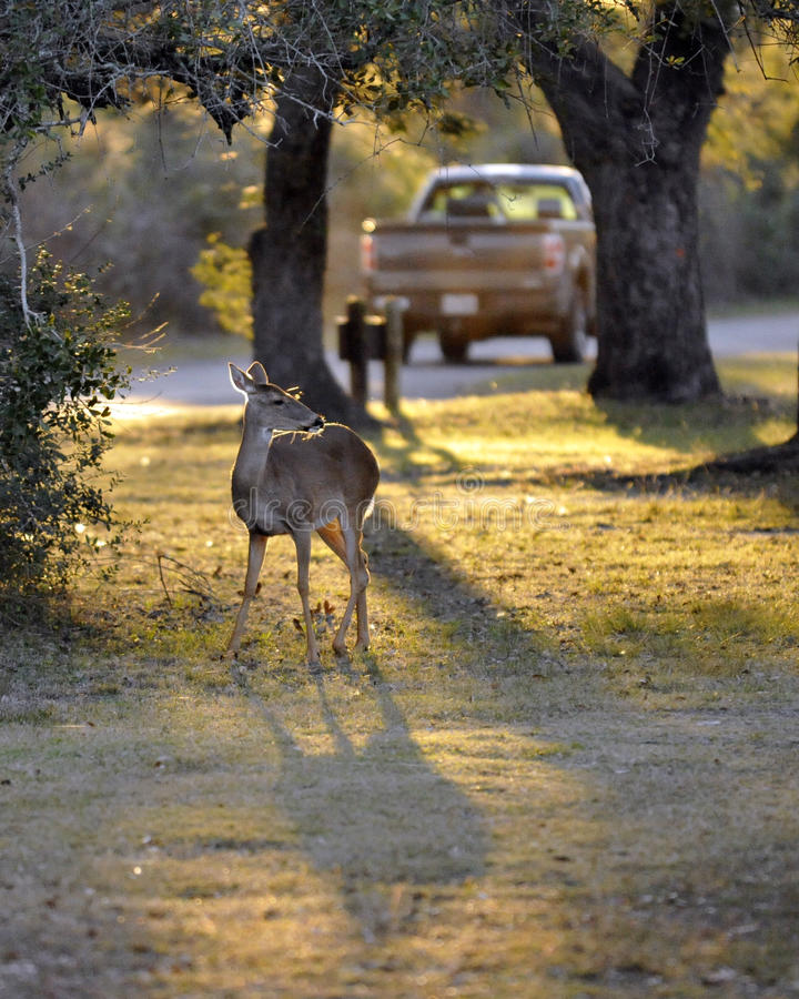 White-Tailed Deer Watching Pickup Truck Passing By at Sunset.  stock image