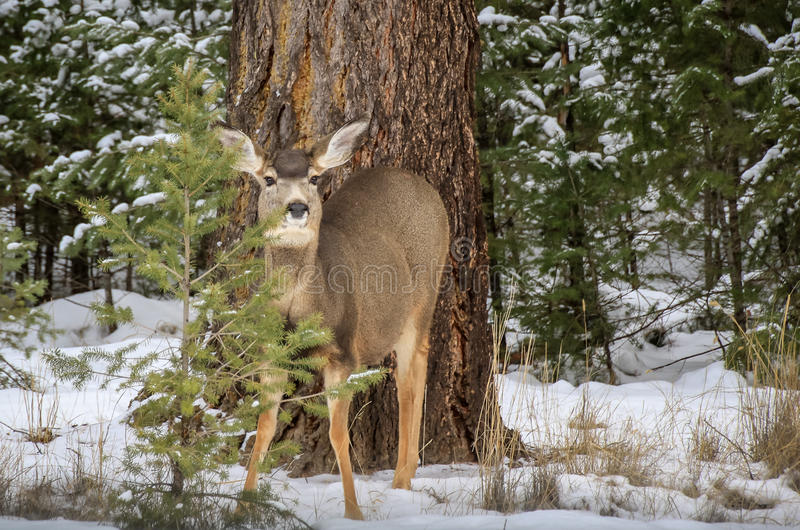 White Tailed Deer in Winter royalty free stock photo