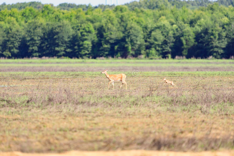 A white-tailed doe and her fawn walk across a field in Bald Knob Wildlife Refuge in Bald Knob. A white-tailed, Odocoileus virginianus, doe and her fawn walk stock images