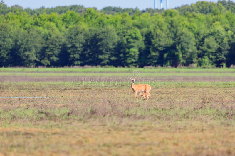 A white-tailed doe and her fawn walk across a field in Bald Knob Wildlife Refuge in Bald Knob. A white-tailed, Odocoileus virginianus, doe and her fawn walk stock image