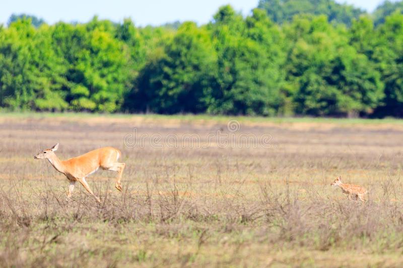 A white-tailed doe and her fawn walk across a field in Bald Knob Wildlife Refuge in Bald Knob. A white-tailed, Odocoileus virginianus, doe and her fawn walk royalty free stock images