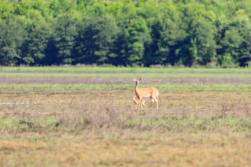 A white-tailed doe and her fawn walk across a field in Bald Knob Wildlife Refuge in Bald Knob. A white-tailed, Odocoileus virginianus, doe and her fawn walk stock photo
