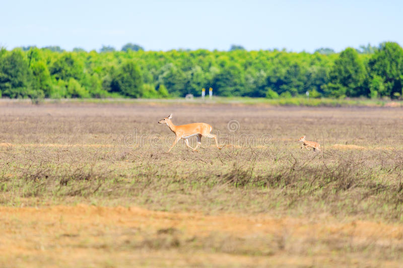 A white-tailed doe and her fawn walk across a field in Bald Knob Wildlife Refuge in Bald Knob. A white-tailed, Odocoileus virginianus, doe and her fawn walk stock photography