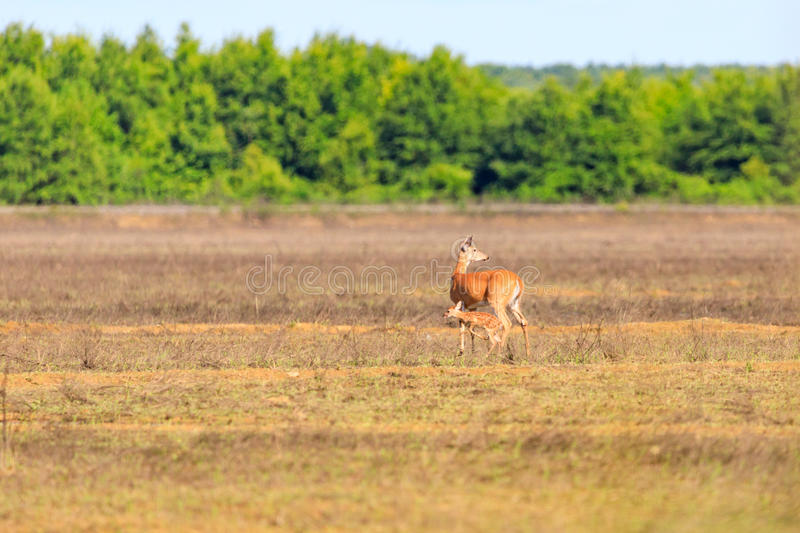 A white-tailed doe and her fawn walk across a field in Bald Knob Wildlife Refuge in Bald Knob stock images