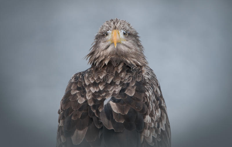 Download White-tailed Eagle stock image. Image of wildlife, feathers - 25136933