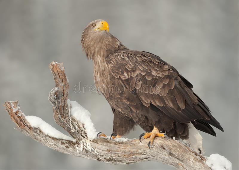 Download White-tailed Eagle Stock Images - Image: 25137584