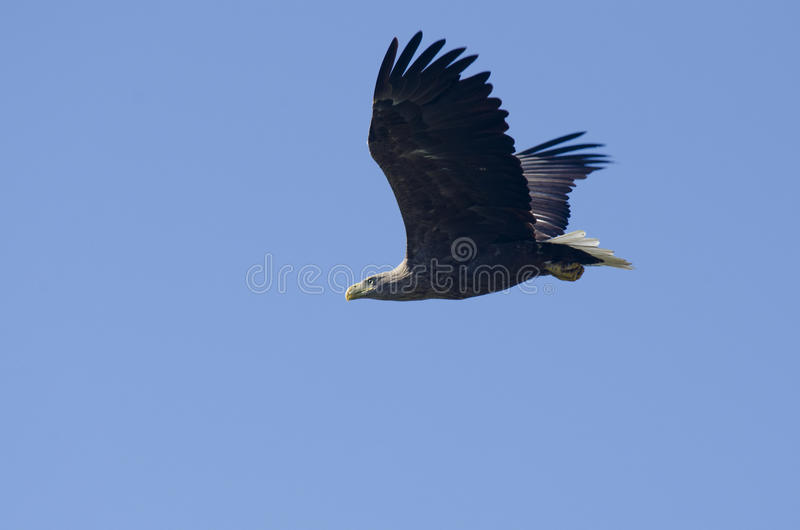 Download White Tailed Eagle stock photo. Image of eagle, observing - 27869626