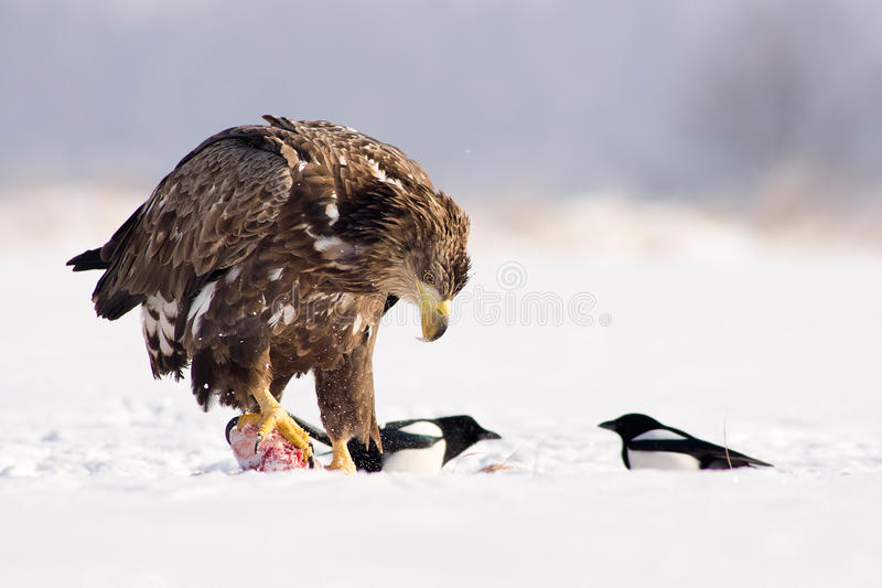 Download White Tailed Eagle Royalty Free Stock Image - Image: 28356366