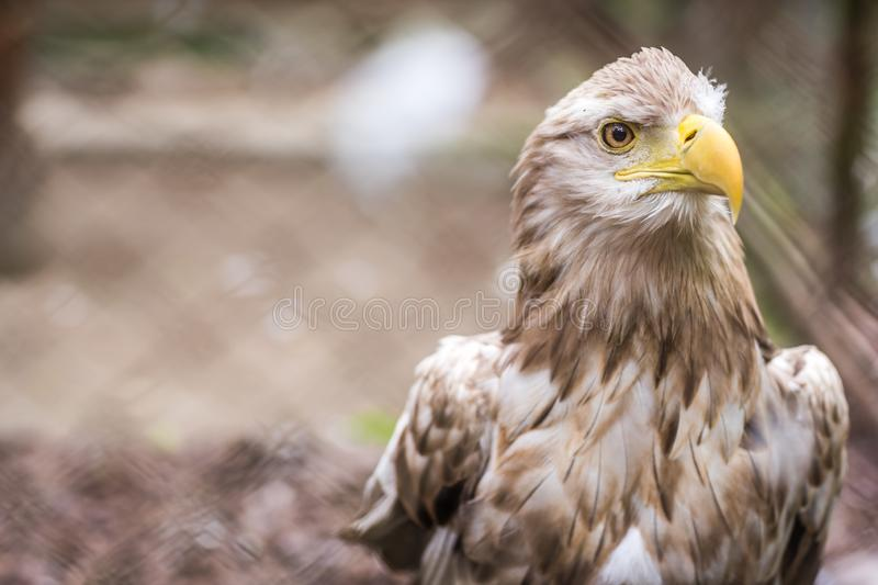 White tailed eagle in a cage in zoo. Mighty white tailed eagle called Haliaetus Albicilla in a cage in zoo, Poland royalty free stock photo