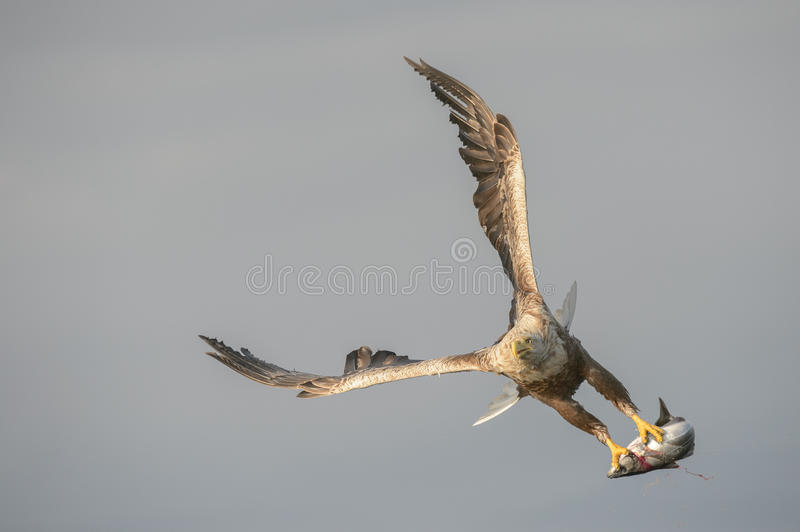 White-tailed Eagle with catch. A large male White-tailed eagle, locally known as Brutus, carrying a very large Coalfish which he has just caught royalty free stock images