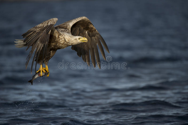 Download White-tailed Eagle fishing stock image. Image of prey - 25138927