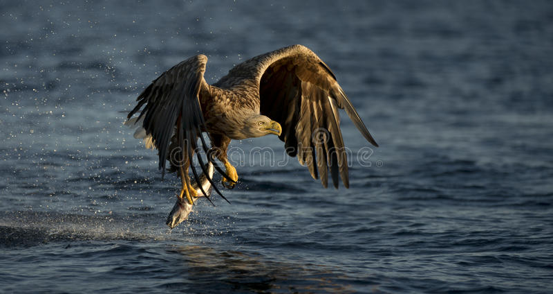 Download White-tailed Eagle fishing stock photo. Image of eagle - 25139176