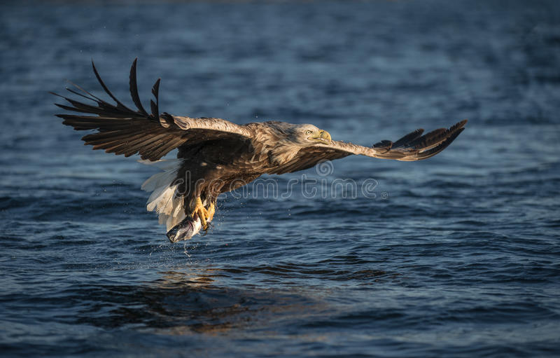 White-tailed Eagle in flight. A male White-tailed Eagle. The eagle has just caught a young Coalfish royalty free stock photography