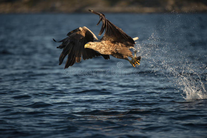 White-tailed Eagle in flight. A female White-tailed Eagle. The eagle has just caught a young Coalfish stock photography