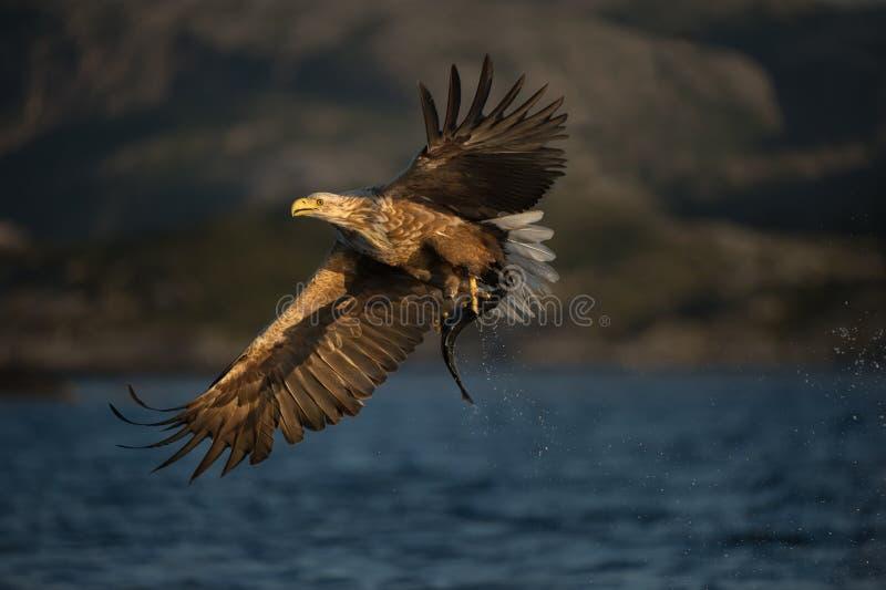 White-tailed Eagle in flight. A female White-tailed Eagle in flight. The eagle has just caught a young Coalfish royalty free stock photos