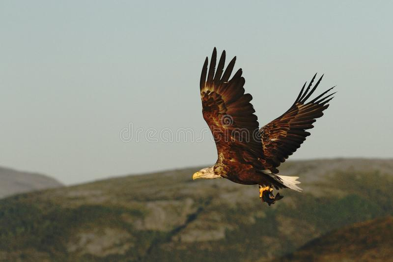 White-tailed eagle in flight with caught fish from sea,Norway,Haliaeetus albicilla, majestic sea eagle with fish in its big claws royalty free stock image